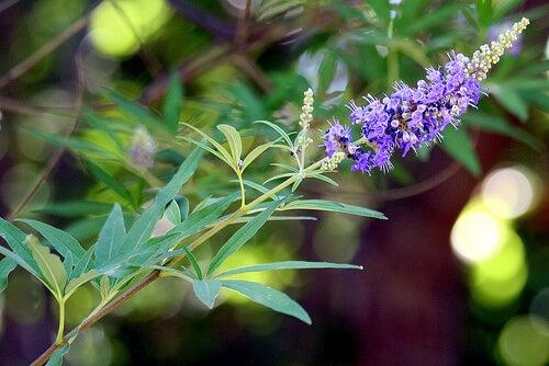 chasteberry-vitex-agnus-castus