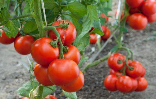 1-tomatoes