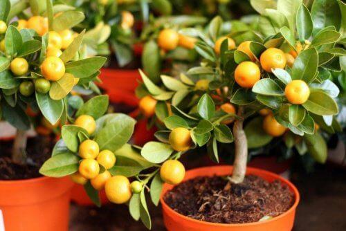 레몬 씨를 정원