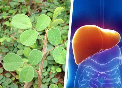 간 건강에 유익한 식물