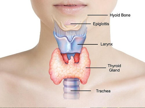 1-thyroid