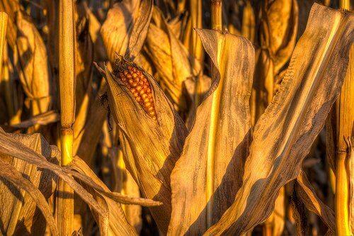 옥수수 찌기
