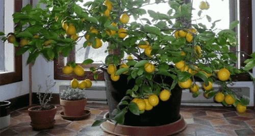 레몬 씨로 레몬 나무 키우기