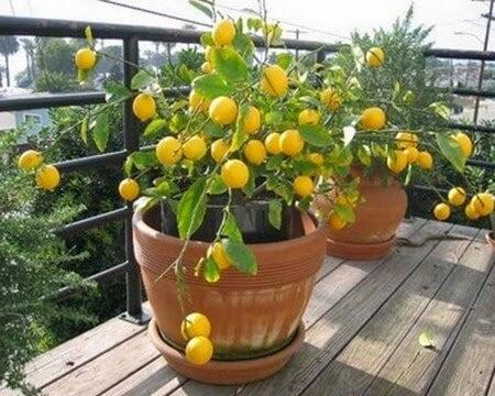 메이어 레몬 나무