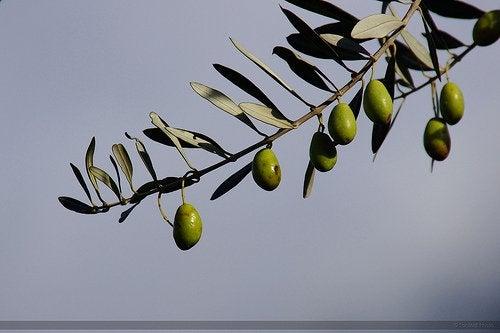 아르베키나 올리브나무
