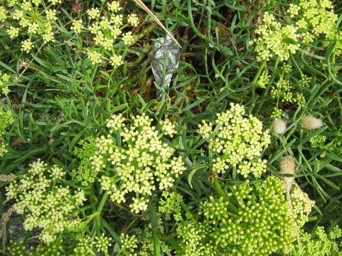4. 씨 퍼넬(Sea fennel)