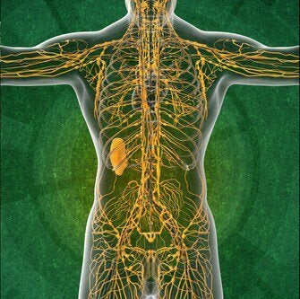 림프계에 관한 흥미로운 사실 4가지