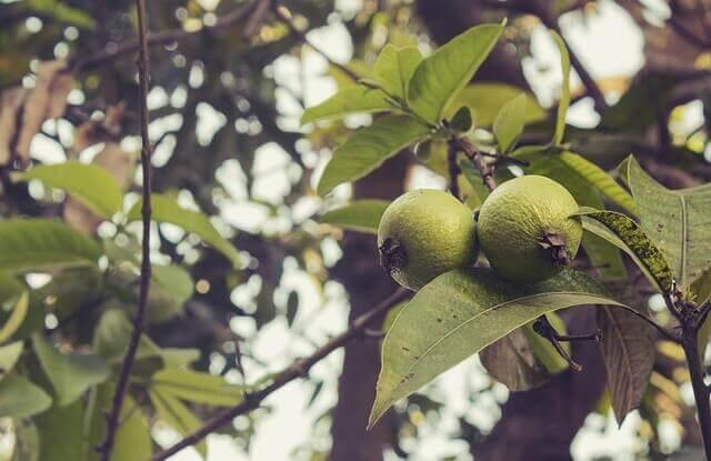 구아바 잎 질의 악취를 제거하기 위한 자연요법