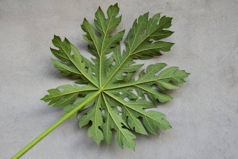 파파야 잎