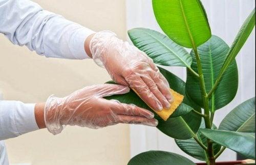화초 잎을 반짝거리게 닦는 방법