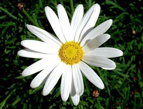 벼룩 및 진드기 천연 퇴치제로 사용할 수 있는 식물
