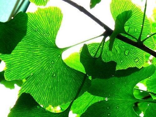 난청을 예방하는 자연 식물