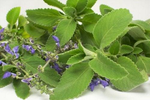 볼도 잎을 활용하여 간 건강을 개선하는 간단한 요법