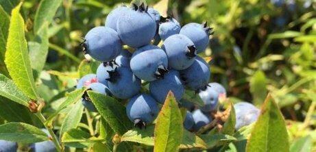 집에서 직접 기르는 블루베리 나무