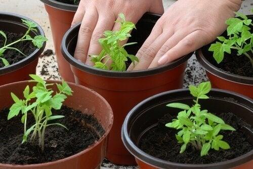 토마토 4조각으로 토마토를 키우는 방법
