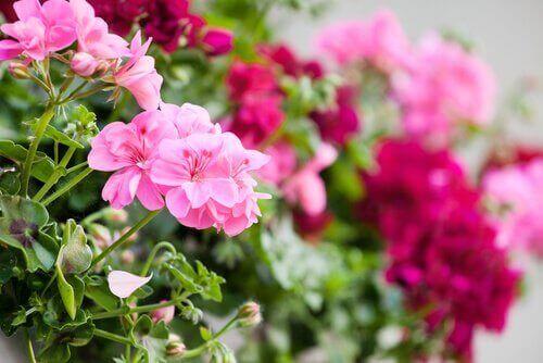 제라늄 발코니를 꾸미는 데 좋은 꽃 5종