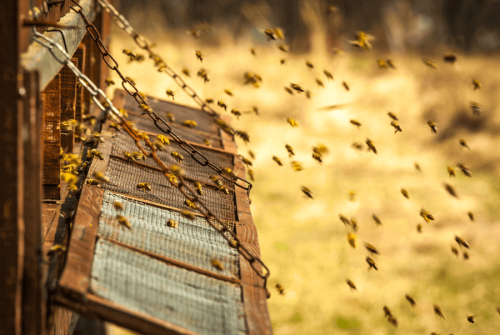 로열젤리는 벌에 의해 만들어지는 100% 천연 물질이다.