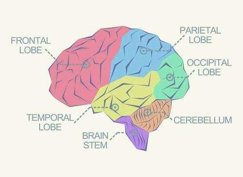 뇌의 여러 가지 엽에 관하여