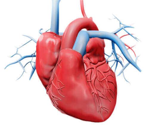 심장의 다른 구성 요소들: 판막
