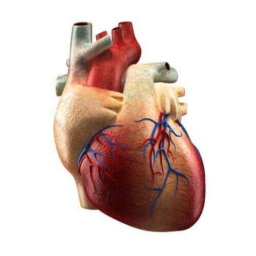 심장의 구성 및 기능