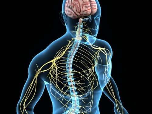 경부 척수 신경의 분배
