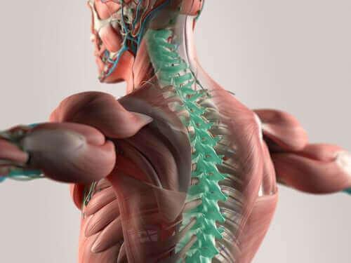 경부 척수 신경의 특성