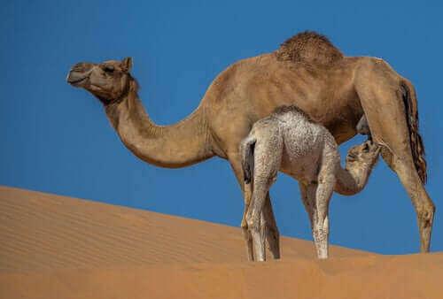 낙타 우유의 특성 및 이점