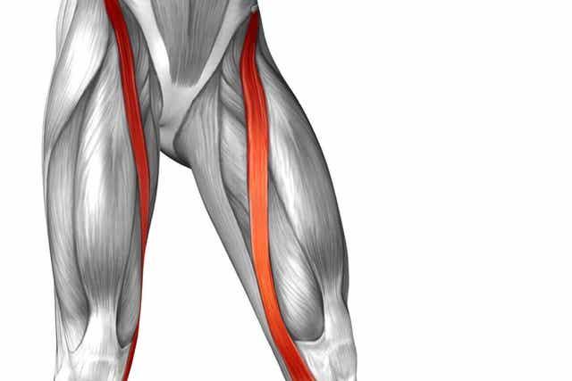 신체에서 가장 긴 근육인 넙다리 빗근은 무엇일까