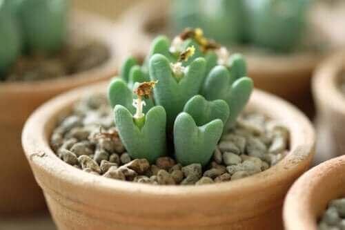 하트 모양 다육식물, 축전을 관리하는 방법
