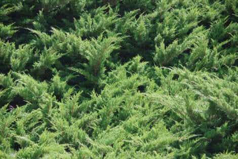 원예용 토양 지피 식물